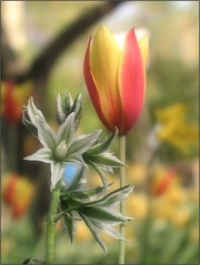 (Tölgyesi Kata) Tags: tulip tulipán budapest füvészkert blossom fleur virág botanikuskert botanicalgarden spring withcanonpowershota620 tavasz tulpen tulipa kónyasárma ornithogalumboucheanum droopingstarofbethlehem