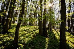 Wiesbaden_Kloppenheim_IMG_8989 (milanpaul) Tags: 2019 bärlauch bäume canoneos6d deutschland frühling germany grün hessen kontrast landscape landschaft sonne wald wiesbaden