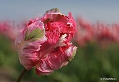 Close up of the : Amazing Pink Apricot Parrot Tulip (ShotsOfMarion) Tags: shotsofmarion shots2remember flickr nikon papegaaitulp parrottulip closeupoftheamazingpinkapricotparrottulip pink roze tulp tulip bloem voorjaarsbloeier springflower nature naturelezaperfecta