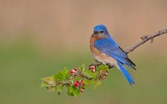 Eastern bluebird male (IshranI) Tags: eastern bluebird male ontario canada