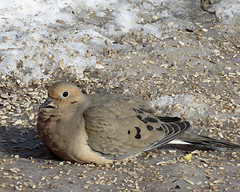 Mourning Dove (airedale49) Tags: mourningdove