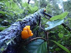 Orange slime mold in Saratoga Woods, Whidbey Island (Animal People Forum) Tags: slimemold mold plasmodialslimemold myxogastria microbe plant whidbeyisland washingtonstate langley
