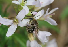 Colletes on toothwort (cotinis) Tags: insect bee hymenoptera anthophila colletidae colletes cellophanebee northcarolina piedmont enoriver canonef180mmf35lmacrousm plant brassicaceae cardamine cardamineconcatenata toothwort cutleavedtoothwort cutleaftoothwort inaturalist