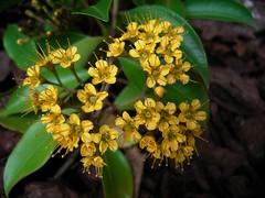 Thaleropia queenslandica 3 (nbgact) Tags: australian national botanic gardens canberra act barry m ralley barrymralley dicotyledons