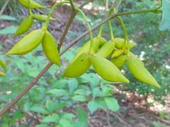Tabernaemontana pandacaqui 12 (nbgact) Tags: australian national botanic gardens canberra act barry m ralley barrymralley dicotyledons arffs greenarffs