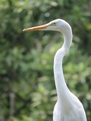 great egret portrait (Cheryl Dunlop Molin) Tags: greategret egret bird