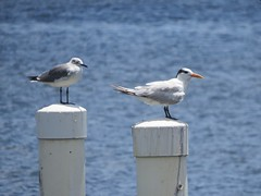 gull and tern--compare and contrast (Cheryl Dunlop Molin) Tags: gull tern gullvstern