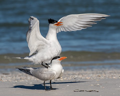 Royal Terns Matting (dbadair) Tags: outdoor nature wildlife 7dm2 ef100400mm canon florida bird