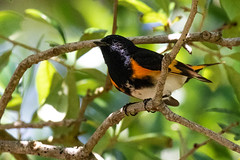 American Redstart (dbadair) Tags: outdoor nature wildlife 7dm2 ef100400mm canon florida bird