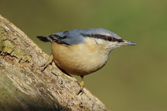 K32P2057c Nuthatch, Barnwell C.P., March 2019 (bobchappell55) Tags: barnwellcountrypark northamptonshire wild wildlife nature bird nuthatch sittaeuropaea woodland