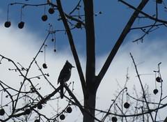 blue jay silhouette (Cheryl Dunlop Molin) Tags: bluejay birdsilhouettes jay bird