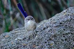 Superb Blue Wren (M) (Rodger1943) Tags: sonyrx10m4 wrens superbbluewrens fairywrens australianbirds