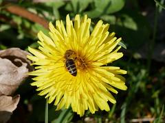 A honey active on a dandelion flower. (Bienenwabe) Tags: flower macro spring springflowers dandelion floweer macdro flowermacro taraxacum taraxacumofficinale asteraceae löwsenkzahn biene honigbiene apis apismellifera apiaceae