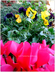 . (zioWoody) Tags: fiori flower fiore flowers colori colours colors color colore
