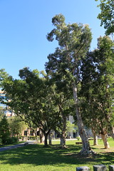 IMG_8507 (Ethene Lin) Tags: 台灣大學 白千層 藍天