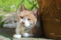sunny spring days (Judecat (HOME AGAIN!)) Tags: cat feline redtabby catingarden leo