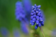 Muscari (takapata) Tags: sony sel90m28g ilce7m2 macro nature flower