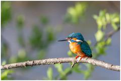 Common Kingfisher (male) - IJsvogel (man) (Alcedo atthis) (Martha de Jong-Lantink) Tags: 2019 alcedoatthis commonkingfishermale ijsvogelman ijsvogelhutderuigehof natuurverenigingderuigehof