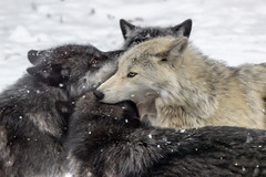 Play time (adrianstevejoseph) Tags: wolf wolves haliburton snow winter canada haliburtonforestwolfcentre animals animal