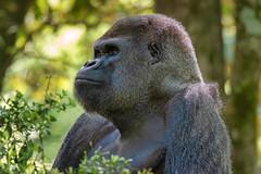 Lowland Gorilla (Bob.Z) Tags: zooatlanta lowlandgorilla primate atlanta ga georgia usa unitedstates animals
