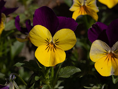 Viola (François dt) Tags: canon 6dmarkii canon6dmarkii nature flower gardenflower spring