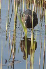 Glossy Ibis Juvenile (Plegadis falcinellus) (gipukan (rob gipman)) Tags: glossy ibis juvenile plegadisfalcinellus eempolder arnenheem netherlands canon canon300lis4 14x sun morning riet blue bird 177a0534