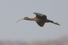 Glossy Ibis Juvenile (Plegadis falcinellus) (gipukan (rob gipman)) Tags: glossy ibis juvenile plegadisfalcinellus eempolder arnenheem netherlands canon canon300lis4 14x sun morning riet blue bird 177a0459