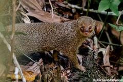 Jurón (juan.sangiovanni) Tags: jurón mangosta índica herpestes javanicus