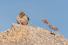 Breezy (rickcameron) Tags: mourningdove bird perching rock grass latigotrail brownsranch mcdowellsonoranpreserve scottsdale arizona desert sonorandesert