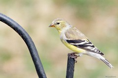 American Goldfinch Female (Anne Ahearne) Tags: wild bird animal nature wildlife yellow songbird birdwatching finch goldfinch closeup portrait