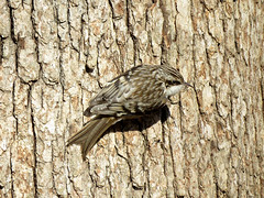 Brown Creeper (Dean Newhouse) Tags: browncreeper