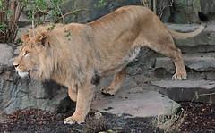 african lion Dembe artis 094A0012 (j.a.kok) Tags: animal artis africa afrika leeuw lion afrikaanseleeuw africanlion pantheraleoleo mammal zoogdier dier predator dembe
