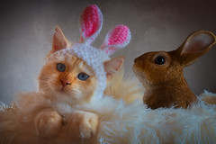 Why can't the Easter Bunny stop giggling ? (FocusPocus Photography) Tags: tofu dragon katze kater cat tier animal haustier pet osterneaster osterhase easterbunny hasenohren bunnyears