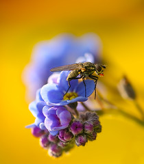 Fly/Forget-me-not (neiljamesbrain) Tags: fly canonuk canon springwatch earthcapture ourplanet macro macrophotography