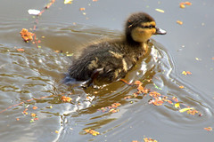 Swimming duckling (Tony Worrall) Tags: bird birds nature natural cute seasonal outdoor wild wildlife feathers swim canal wet water duck duckling baby small young update place location uk england visit area attraction open stream tour country item greatbritain britain english british gb capture buy stock sell sale outside outdoors caught photo shoot shot picture captured ilobsterit instragram