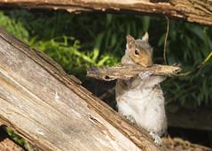 The Wildlife Woodwind Section😁 (Fourteenfoottiger) Tags: squirrel drey instrument woods woodland countryside nature animal wildlife wildanimal woodwind