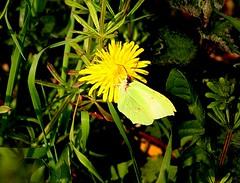 Brimstone Alton Water (Chris Baines) Tags: brimstone butterfly feeding dandelion alton water suffolk