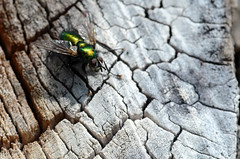 fly (Wolfgang Binder) Tags: fly insect animal bug nature macro nikon d7000 zeiss planar planart2100
