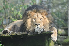 Asiatic lion, Bristol Zoo (Tom_bal) Tags: asiatic lion bristol zoo endangered large cat