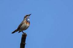Blauwborst (bluethroat) (mariogrievink) Tags: blauwborst bluethroat naturephotography dutchnature birds vogels achterhoek wooldseveen d500 tamron150600mmg2