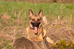_MG_7368 (icycoldtouches) Tags: thor dog pet animal german shepherd belgian malinois puppy canon canoneos80d tamron tamron90mm