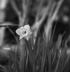 Another sign of spring - narcissus pseudonarcissus (Rosenthal Photography) Tags: asa400 rodinal15020°c11min epsonv800 20190401 mittelformat 6x6 schwarzweiss ilfordrapidfixer ff120 rolleiflex35f analog ilforddelta400pro spring march narcissuspseudonarcissus narcissus pseudonarcissus maro flower mood blackandwhite rollei rolleiflex 35f f35 sk schneiderkreuznach xenotar rollinar rollinar2 tilford delta delta400 400pro rodinal 150 epson v800