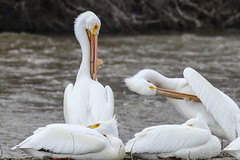 American White Pelicans (jimmy.stewart40) Tags: wildlife waterbirds pelicans white yellowbill wildanimals animals watersurface riverbank outdoors nature beautyinnature