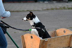 Dogsurvival training (De Boer Journalistiek) Tags: dogs dogsurvival training