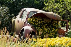 Finir dans les narcisses... (Gisou68Fr) Tags: keukenhof paysbas netherlands jardinbotanique botanicalgarden narcisses narcissus jaune yellow voiture coccinelle beetle vw
