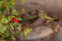 A Docking Manoeuvre (sbisson) Tags: annshummingbird hummingbird bird wildlife garden sanjose green emerald wings flying fast hover streamlined feeding flowers