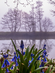 foggy tree water reflections 2 (strangesimon) Tags: bluebells fog water reflections atmosphere river