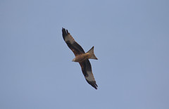 red kite (haslerbryan) Tags: wildlife birdofprey nature uk hertfordshire birdsinflight bluesky canon60d canon birds redkite