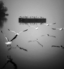 In flight (LAKAN346) Tags: bnw flight birds bw perspective nature peaceful calm fog morning reflections