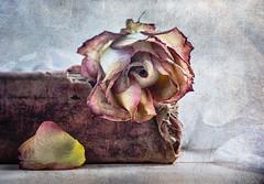Wilted rose (Ro Cafe) Tags: edge80 lensbaby rose sonya7iii stilllife wilted driedrose macroconverter oldbook petal textured
